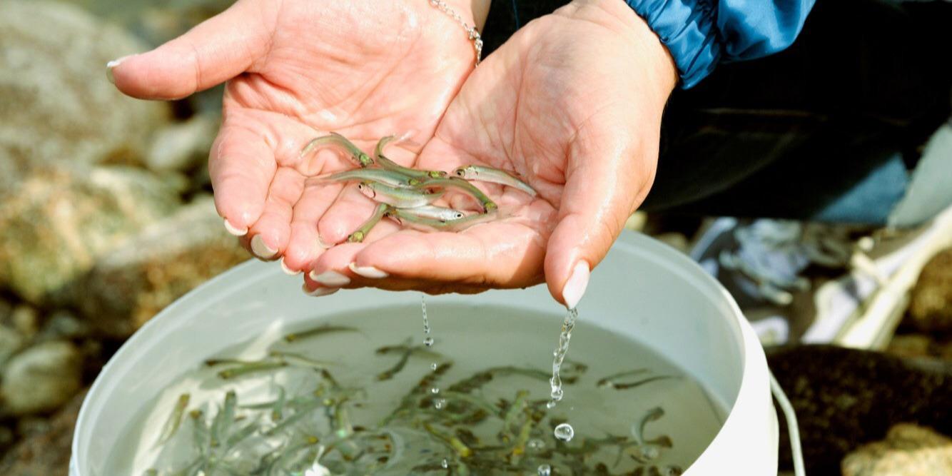 Миллионы мальков рыб ежегодно погибают в Славянском районе